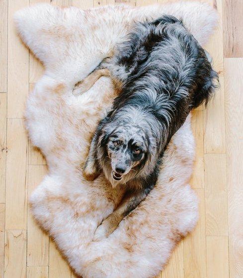 ovcia kozusina pes